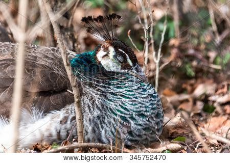 Closeup Of A Beautiful Female, Indian Peafowl Or Blue Peafowl Pavo Cristatus Peahen Bird, Perched In
