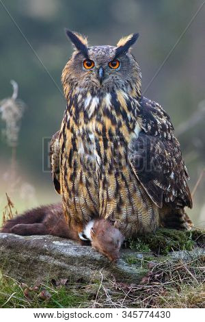 The Eurasian Eagle-owl (bubo Bubo) With Prey. Eagle Owl With Marten In Claws.