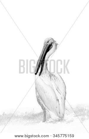The Great White Pelican (pelecanus Onocrotalus) Also Known As The Eastern White Pelican, Rosy Pelica