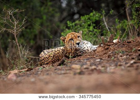 The cheetah (Acinonyx jubatus) lying on a red earth with bushy bushes in the background in the morning light poster
