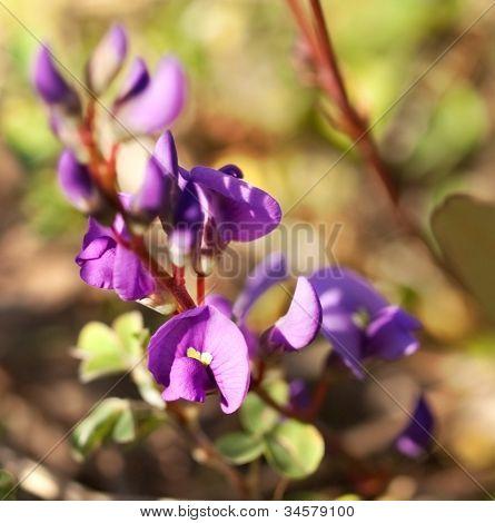 Hardenbergia Violacea, Sarsaparilla Vine, Austalian Native Wildflower