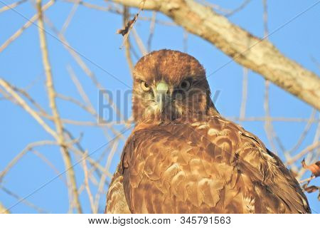 Red-tailed Hawk Perched In A Tree, Hunting For Prey, In The Merced National Wildlife Refuge, Norther