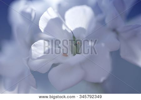 Blossoming White Geranium. Pelargonium Flowers.close Up Of White Flower, Shades Of White, Soft Dream