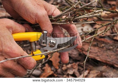 Early Spring And Late Autumn Are The Time To Prun The Bushes In The Garden. Yellow Pruning Shears In