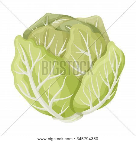 Cabbage Vector Icon.cartoon Vector Icon Isolated On White Background Cabbage.