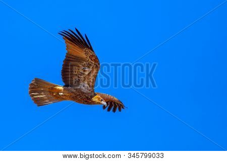 Wedge-tailed Eagle, Aquila Audax, Is Australias Largest Bird Of Prey, Flies In The Ble Sky. Desert P
