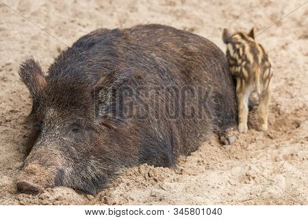 A Large Female Wild Boar With Offspring Sleeps Comfortably In The Mud