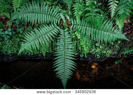 Ferns In The Forest, Madeira. Beautiful Ferns Leaves Green Foliage. Close Up Of Beautiful Growing Fe