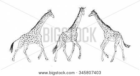 Hand Drawn Set Of Giraffe Animal, Drawing By Ink Outline Sketch. Vector Graphic Illustration, Black