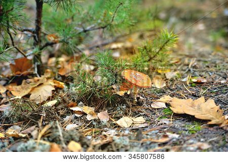 Poisonous Inedible Toxic Mushroom Fly Agaric In The Natural Environment, Pine Branch Autumn Forest,