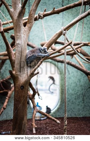 Ring Tail Lemur Sleeping On Branch Zoo Germany Munich Enclosure Background Jumping Activity Life Mon