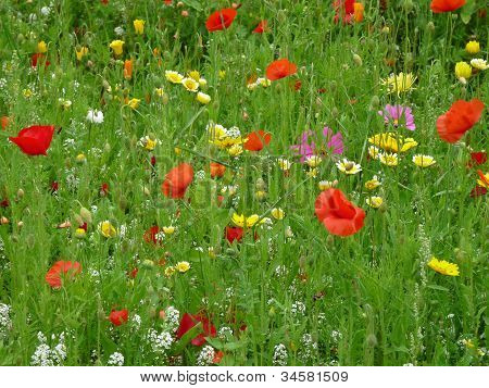 Poppies and other wild flowers in field