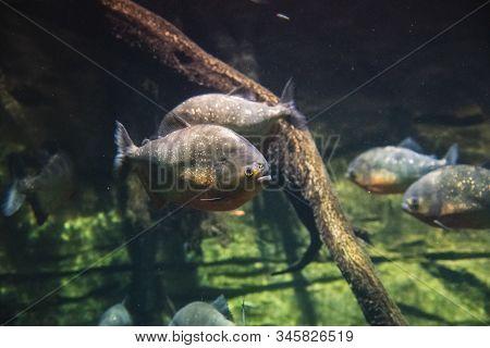 A Picture Of Red-bellied Piranhas Swimming In The Aquarium.   Vancouver Aquarium  Bc Canada