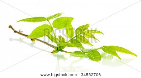 Branch with green leaves isolated on white
