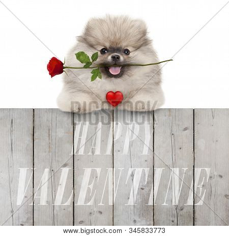 Cute Smiling Pomeranian Spitz Puppy Dog With Red Heart And Rose, And Text Happy Valentine, Hanging W