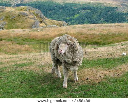 Ram male in Deer Park. New Zealand poster