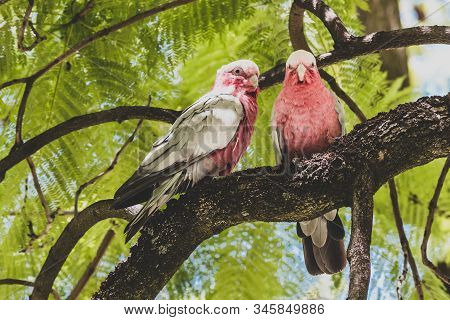 Native Australian Pink Galah Birds Up A Jacaranda Tree
