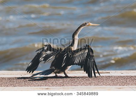 Cormorant Black Shag Bird About To Take Flight In Front Of The Swan River, Shot With A Telephoto Len