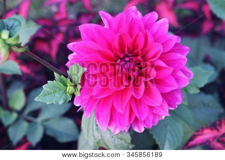 Dahlia Flower Pink Dahlia Flower. Light Pink Flower. Dahlias In Several Colors With Bees, Which Are