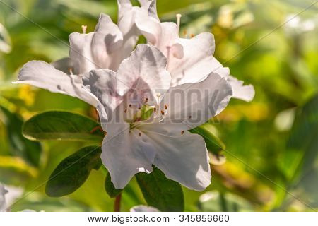 White Rhododendron Flowers. Close-up View To Blooming White Rhododendron, Cunninghams White Rhododen