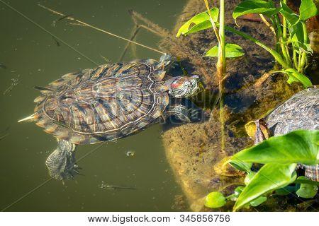Red-eared Turtle Swim Near The Shore Of The Pond. Red-eared Slider, Trachemys Scripta Elegans, Swimm