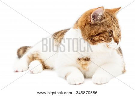 British Cat Lying Isolated On White Background. Shorthair Cat Lying Front View With White And Orange