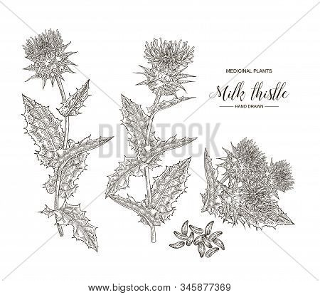 Milk Thistle Plant Hand Drawn. Thistle Flowers And Seeds Isolated On White Background. Medical Gerbs