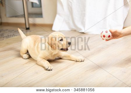 Labrador Puppy Plays With Its Owner. Dog Playing In Game With Man Close Up.