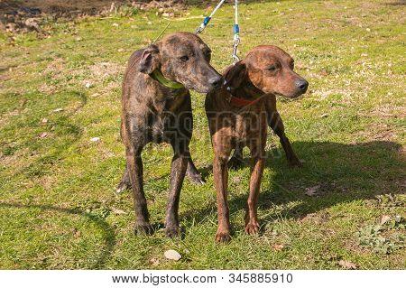 Portrait Of Two Segugio Maremmano Dogs In The Grass