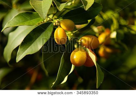 The Kumquat Fruits On A Branch With Green Leaves. A Citrus Tree. The Harvest Is Ripe Orange Kumquats