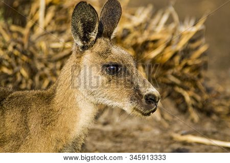 Maria Island, Tasmania, Australia- March 2019: Forester Kangaroo (macropus Giganteus) One Of The Big