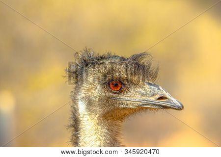 Portrait Side View Of Emu, Dromaius Novaehollandiae, Endemic To Australia Where It Is The Largest Na