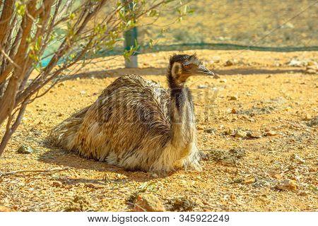 Emu, Dromaius Novaehollandiae, Sitting On Arid Ground, Is An Important Cultural Icon Of Australia. D