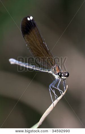 Damselfly Resting On Leaf