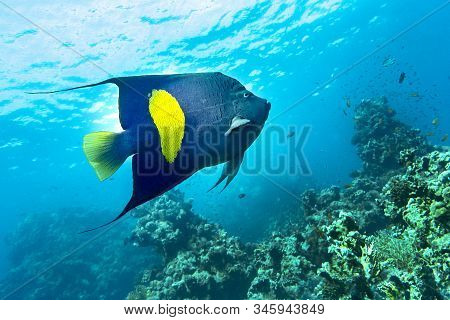 Yellowband  Angelfish  Pomacanthus Maculosus, Also Known As The Halfmoon Angelfish,. Coral Fish