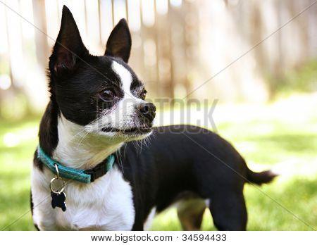 a cute chihuahua enjoying the outdoors