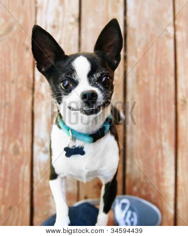 a cute chihuahua begging to be picked up and held poster