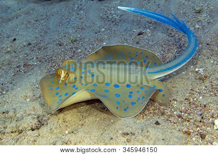 Blue - Spotted Stingray In Red Sea, Close Up