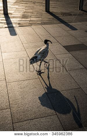 White Ibis Casting Shadow In Early Morning Sunshine In Sydney