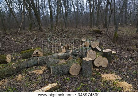 Deforestation, Forest Clearing, In Leafless Deciduous Forest. Sawn Tree Trunks In The Forest.  Fresh