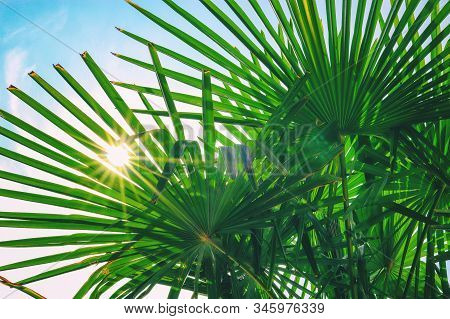 Tropical Palm Leaf Background, Coconut Palm Trees Perspective View. Background Of Palm Leaves And Su