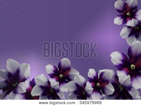 Spring Flowers. Gorgeous White-violet Violets On A Gradient Background. Free Space For Your Text.