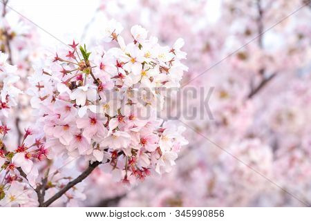 Close Up Sakura Cherry Blossoms Flower Branches  In Pink Color Full Bloom , Good Sakura Background I