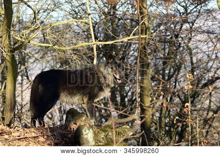 The Northwestern Wolf (canis Lupus Occidentalis) Standing In  The Forest. The Wolf (canis Lupus), Al
