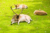 Group of deers laying on a grass. poster