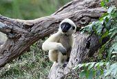White Cheeked Gibbon or Lar Gibbon  baby poster