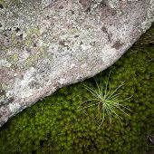 Contrast of granite rock and green moss with a pine sapling. poster