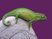 A bright green chameleon sitting on a rock against a purple background poster