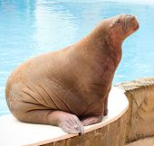 A large walrus lying on the blue pool poster