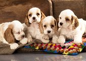 litter of american cocker spaniel puppies poster
